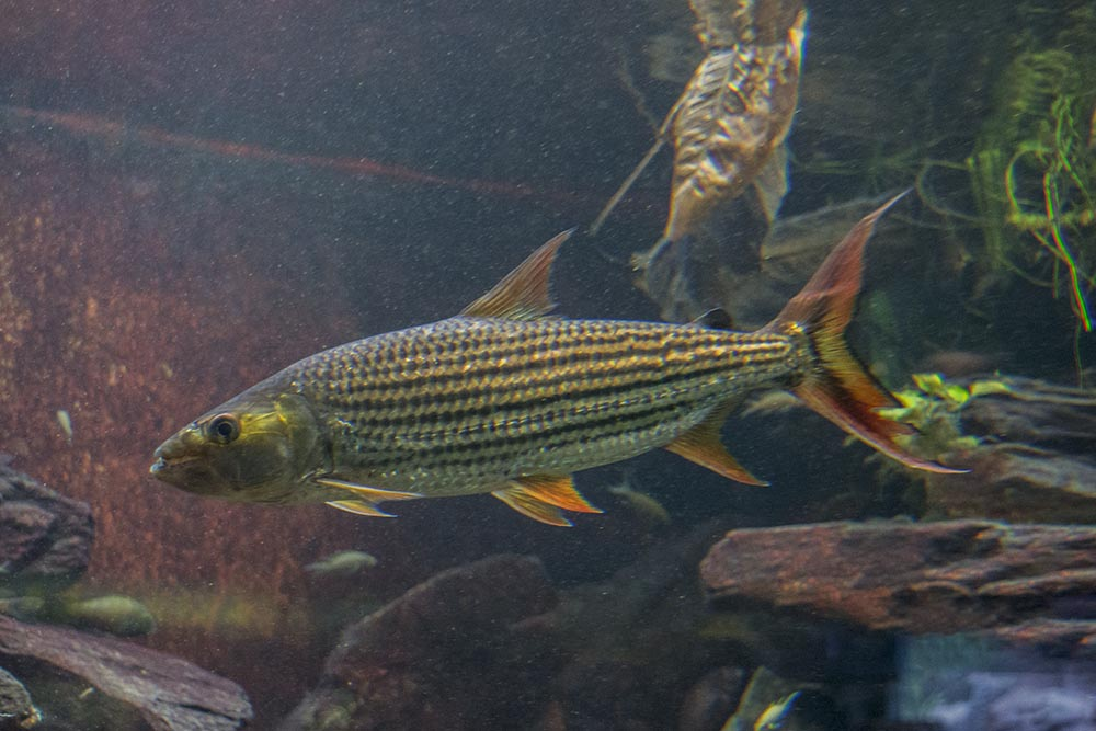 African Tigerfish (Hydrocynus vittatus) in one of the African river exhibits