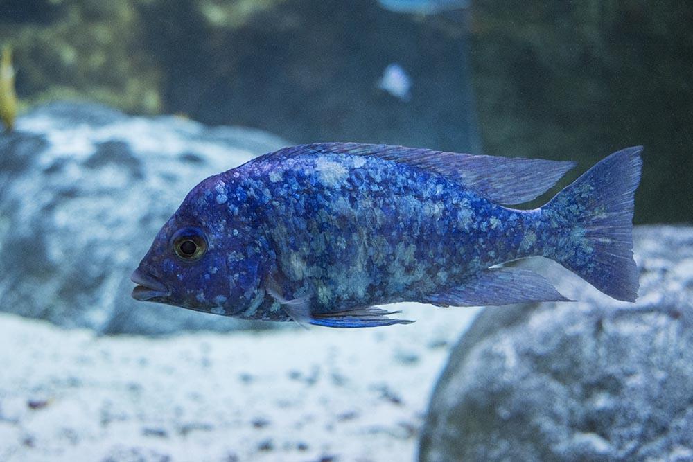 One of the most beautiful Rift Lake Cichlids, Placidochromis phenochilus