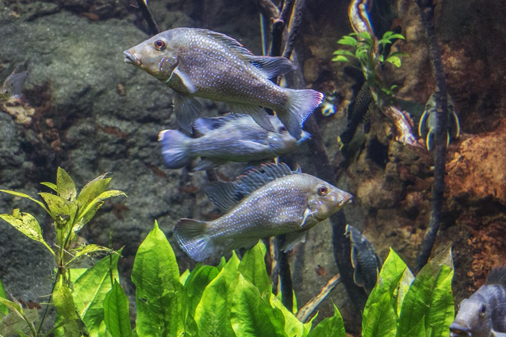 A group of large Retroculus lapidifer in one of the high-current Amazonian exhibits