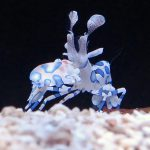 Aquacultured Harlequin Shrimp at Quality Marine.