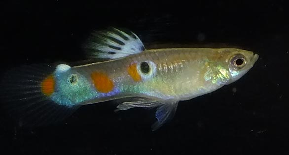 Feral Guppies Thrive In New Mexico S Mccauley Hot Springs
