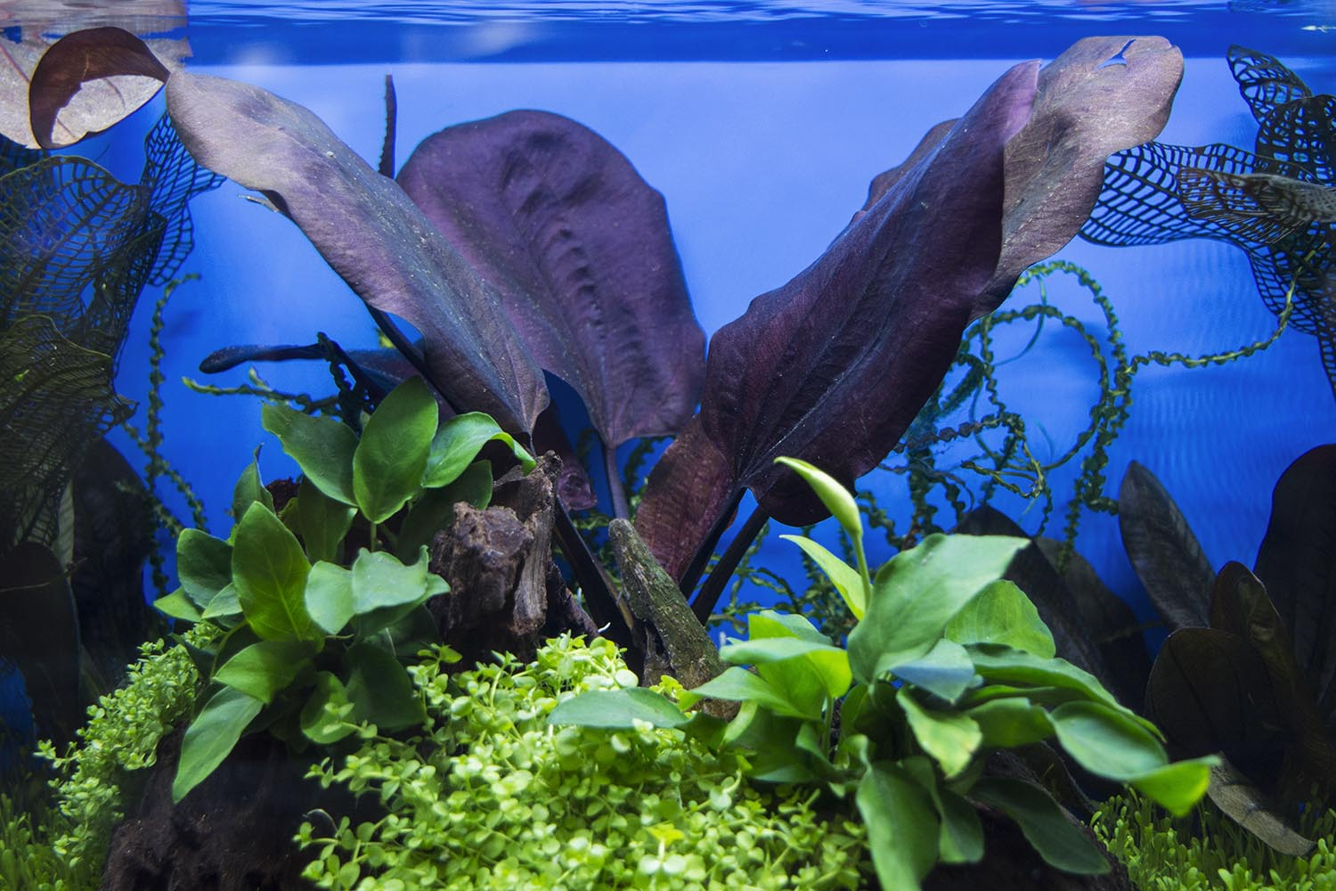 Fish weren't the only aquatic life on display - the centerpiece of this tank featuring plants from Florida Aquatic Nurseries is a stunning St. Elmo's Fire Sword (Echinodorus sp. 'St. Elmo's Fire')