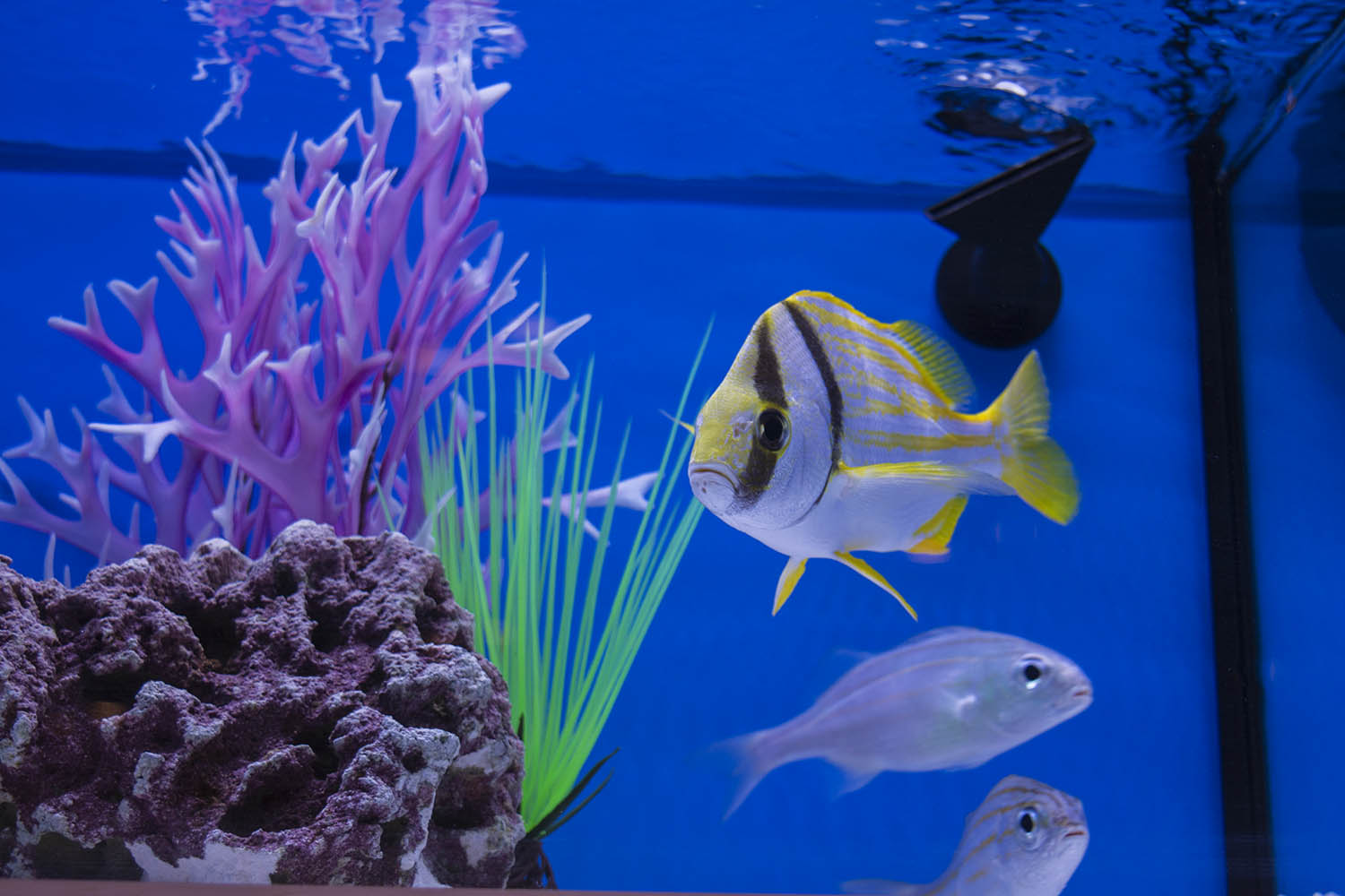 Captive bred Porkfish (Anisotremus virginicus) and Grunts from Fisheye Aquaculture. Both of these species were worked on by Rising Tide and then brought into commercial production