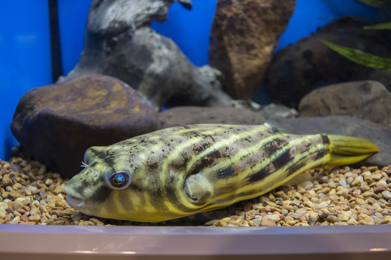 A Fahaka or Nile Puffer on display in the Ruinemans Aquarium tanks