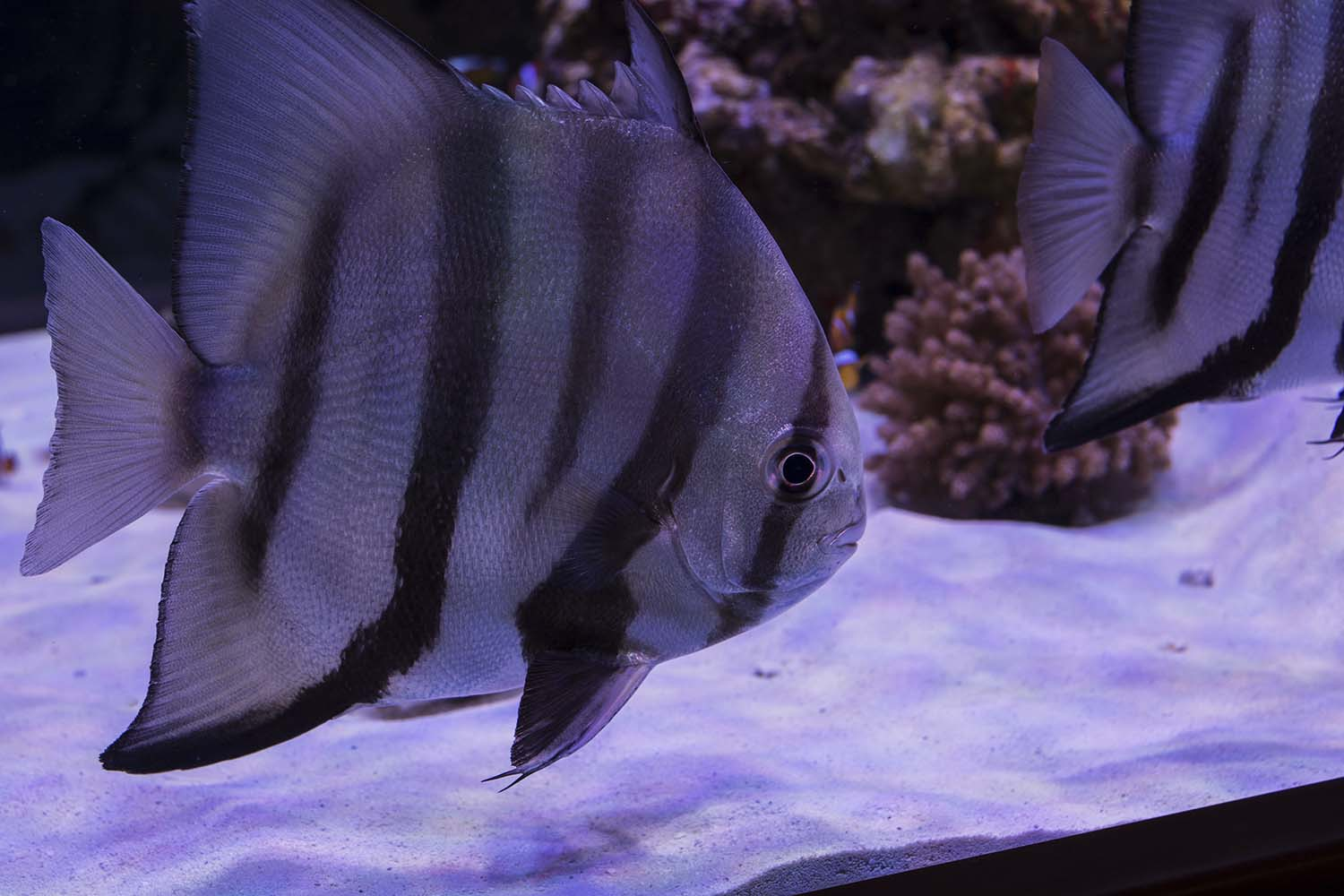 Captive bred Atlantic Spadefish (Chaetodipterus faber) in the massive aquacultured-only display tank by Boyd and Reef Aquaria Design
