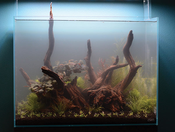 Immediately after planting, the aquarium is gently filled with lukewarm water. A haze from fine substrate particles fills the water column. Canister filtration and daily 50 percent water changes for the first week are essential for regaining water clarity and keeping algae blooms at bay.