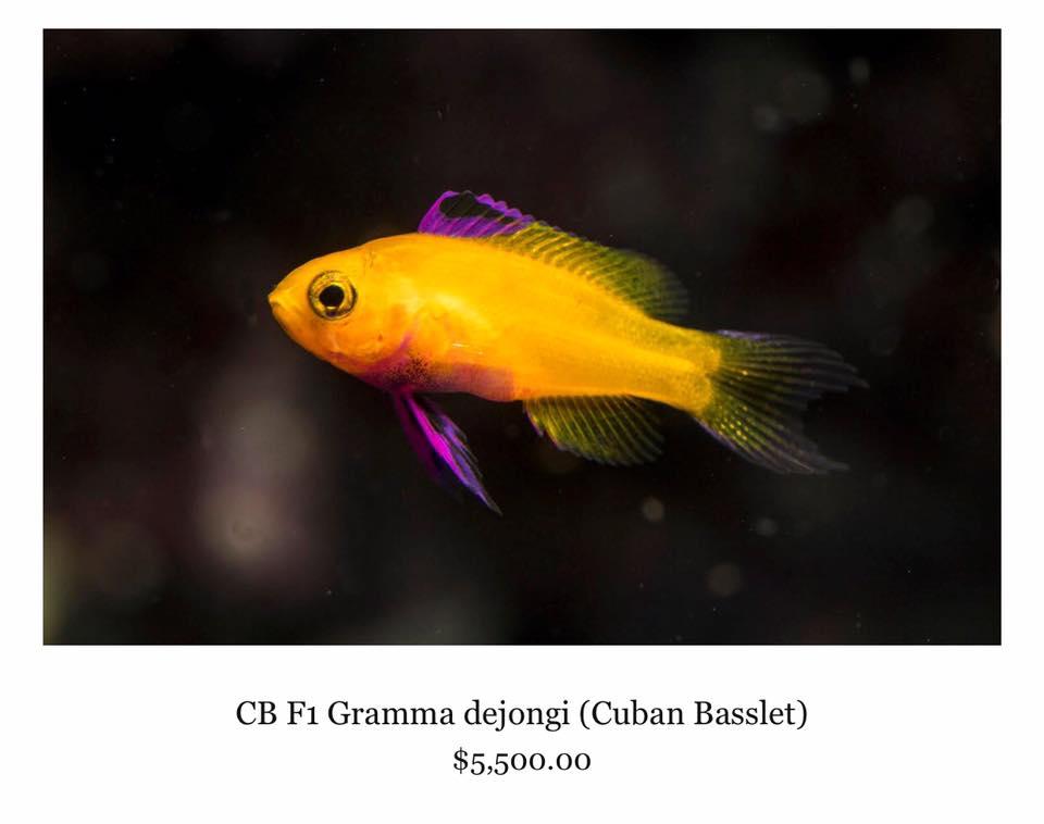 CB F1 Gramma dejongi (Cuban Basslet) $5,500.00