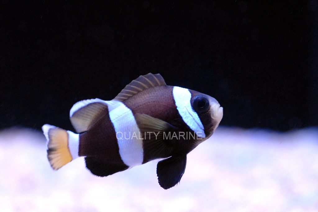 After a multi-year absence, captive-bred Wideband Clownfish, Amphiprion latezonatus, make a triumphant return to the marketplace.