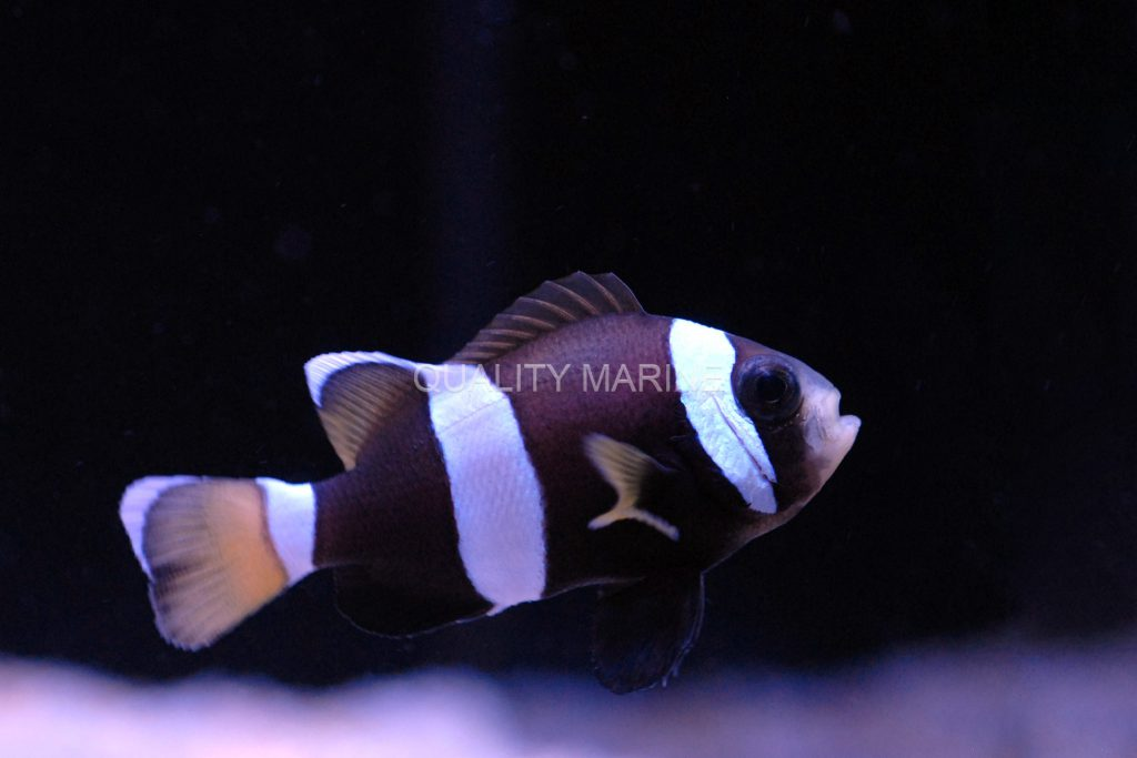 A. latezonatus is also known as the Blue Lip or Blue Lipped Clownfish, a coloration that develops as the fish mature.