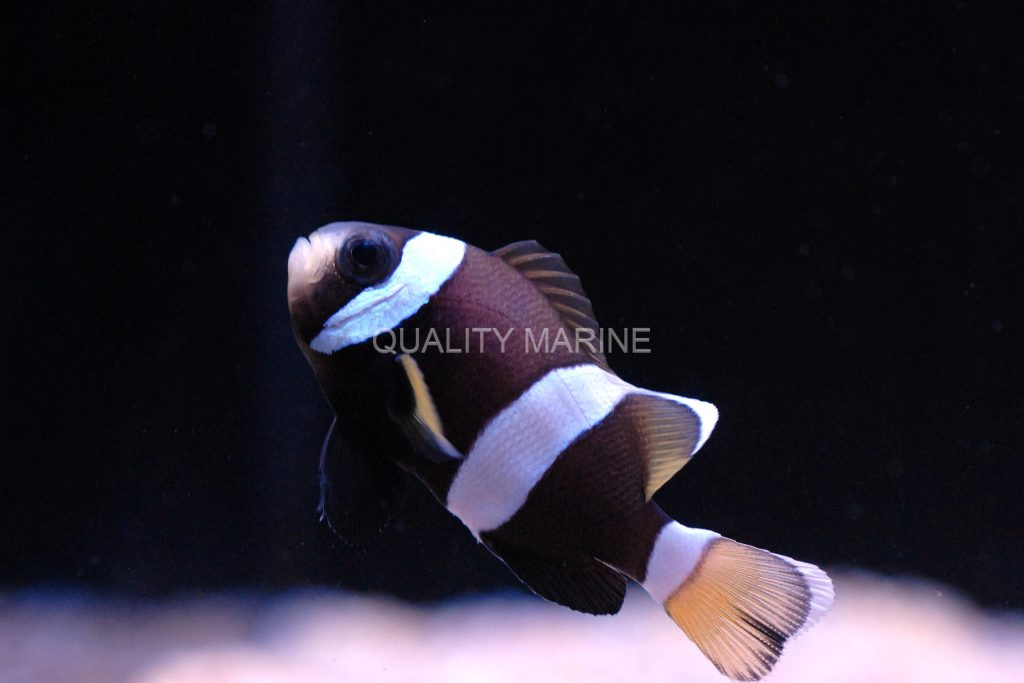 Juvenile Wideband Clownfish are a rare sight; the yellow caudal fin changes as the fish mature.