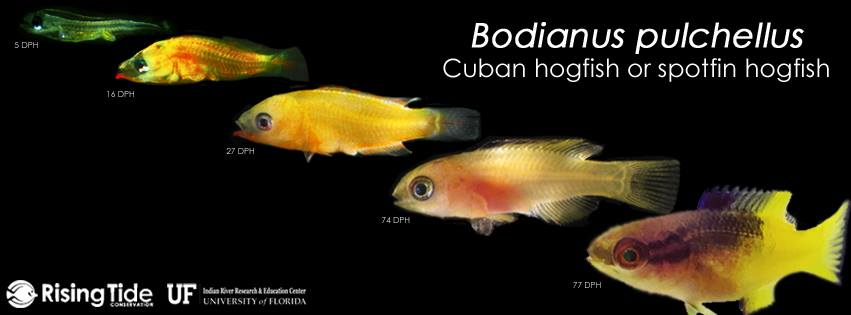 Rising Tide Conservation and the University of Florida Indian River Research and Education Center are excited to announce the first successful aquaculture of the Cuban hogfish, Bodianus pulchellus! We're ecstatic to add this species to our growing list of successfully aquacultured ornamental species! Congratulations to the IRREC team!