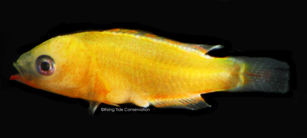 Cuban hogfish, B. pulchellus at 27 DPH; approximately 9.8 mm.