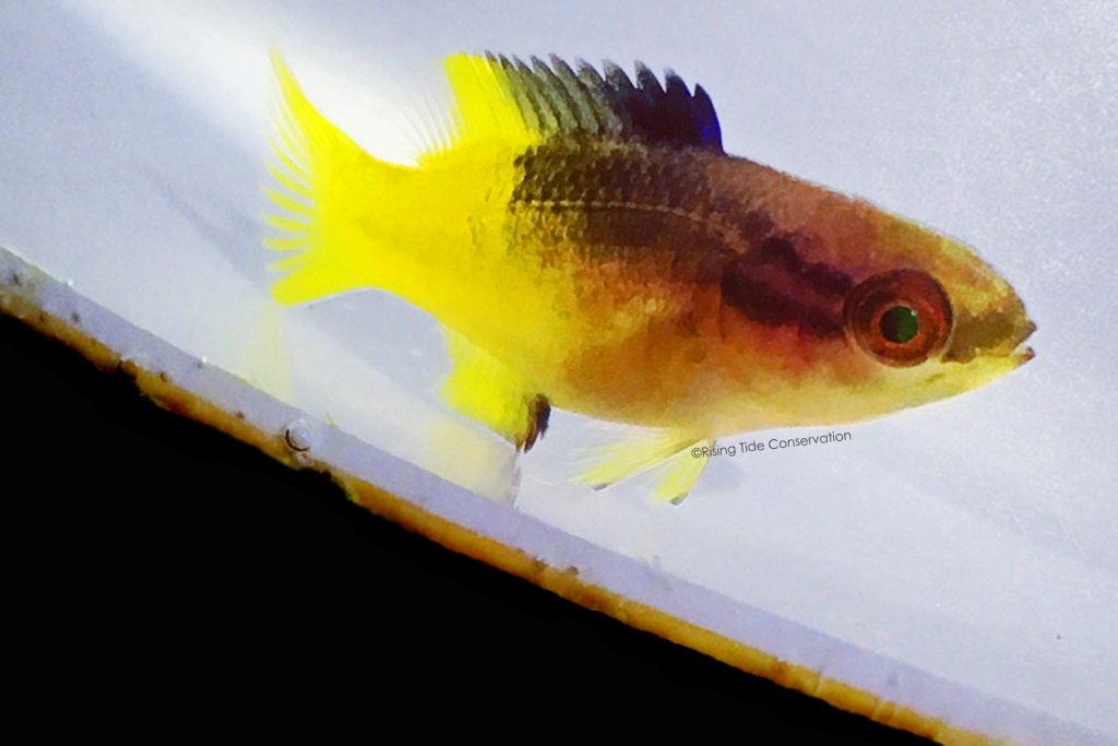 Cuban hogfish, B. pulchellus at 77 DPH from the first batch. Juveniles begin to develop adult coloration but in purple at first rather than red.