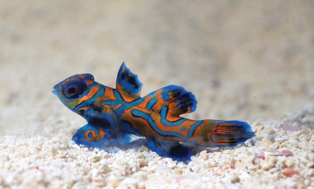 Biota's in-demand captive-bred Green Mandarin Dragonet, Synchiropus splendidus.