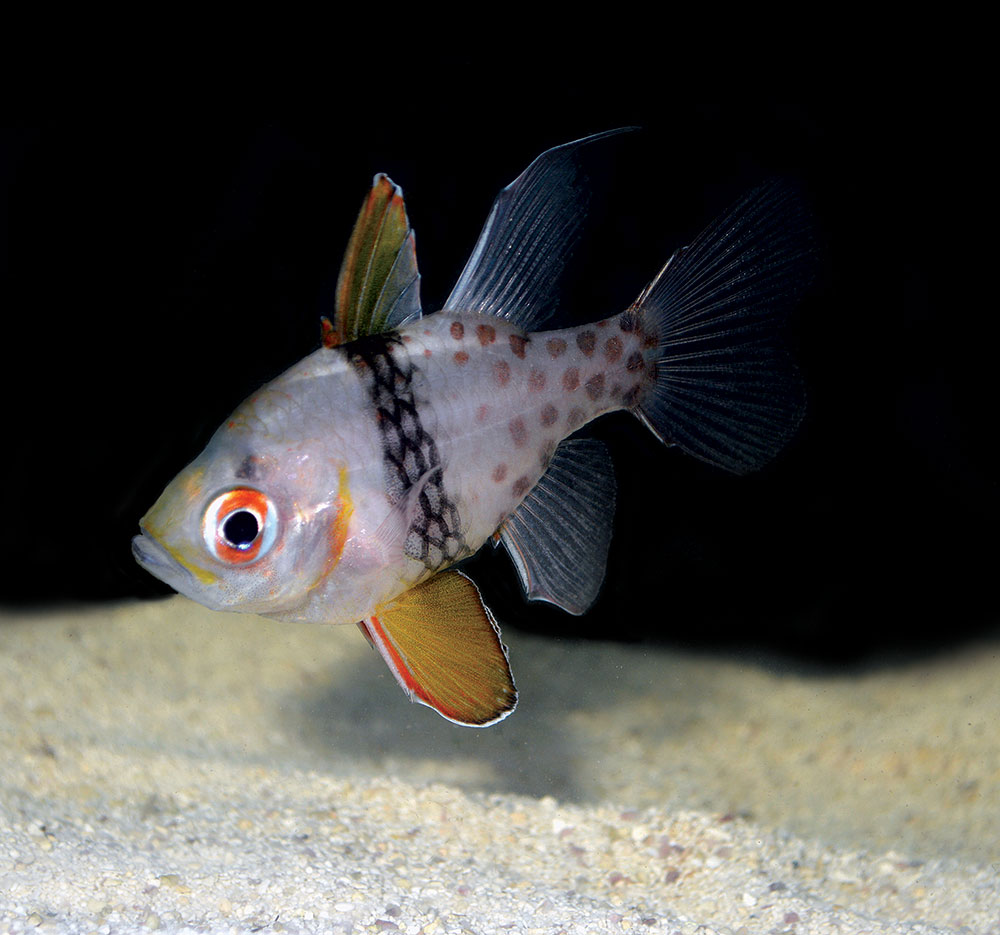 Captive-bred Pajama Cardinalfish, Sphaeramia nematoptera, are subjects of closed vs. cage culture growout trials at Biota.