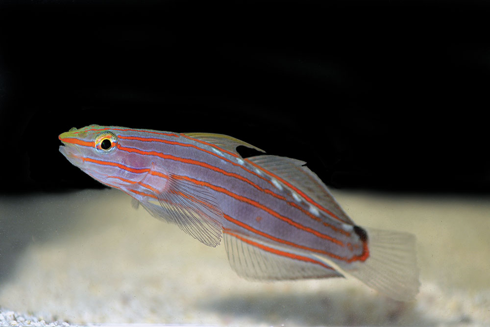 Biota's captive-bred Court Jester or Rainford's Goby, Koumansetta rainfordi.