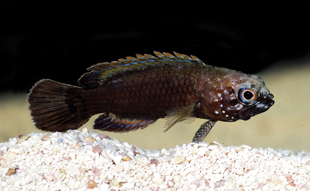 Cousin of the Marine Betta, this is a juvenile Bluegill Longfin, Plesiops corallicola—a true rarity in the trade.
