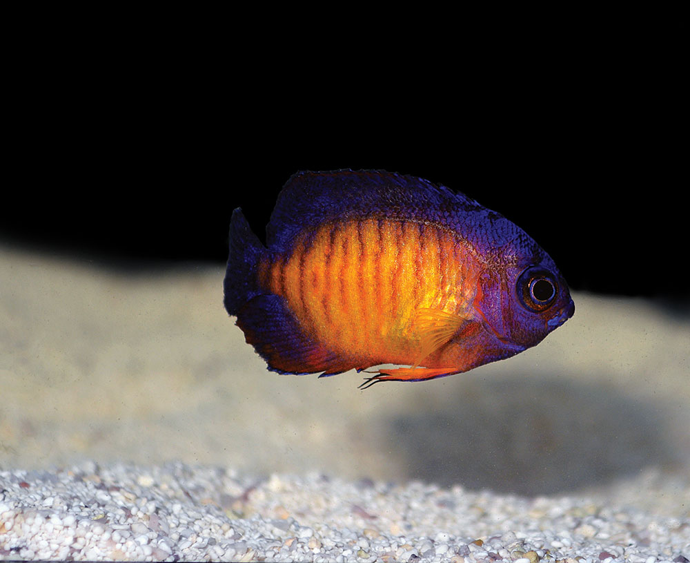 Biota's captive-bred Coral Beauty Angelfish, Centropyge bispinosa, represent a new aquacultured species in the marine aquarium industry.