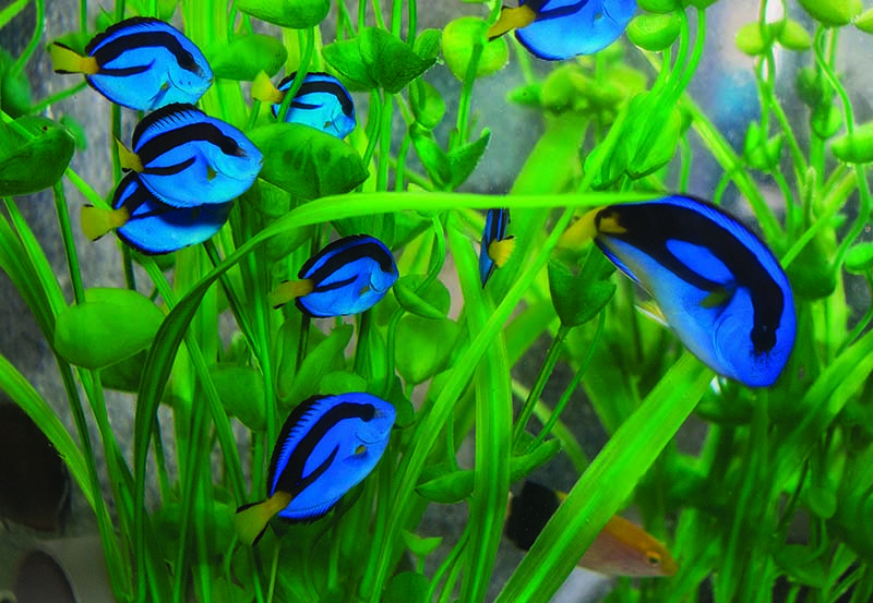 Juvenile Blue Tangs (Paracanthurus hepatus) in an exporter's aquarium. East Africa is home to a distinct population of this fish that is known for the unique yellow coloration in adults.