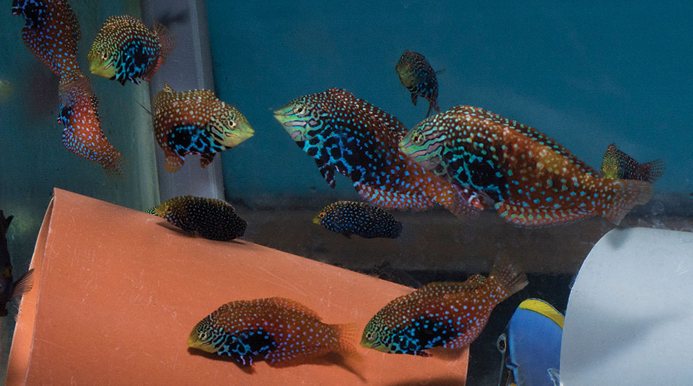The beautiful Blue Star Leopard Wrasse (Macropharyngodon bipartitus), a regular export from Kenya, in an exporter's holding tank.