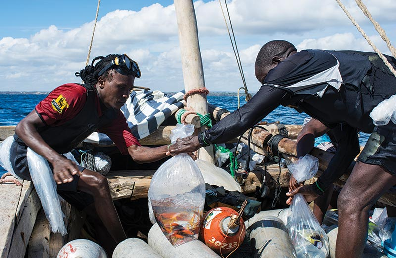 After a successful dive, collectors and boat crew work quickly to change water and fill bags of fishes with pure oxygen to ensure that they arrive at the export facility in good health.
