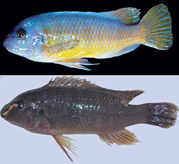 Labeotropheus chlorosiglos, male above, female below. Image credit Pauers 2016.
