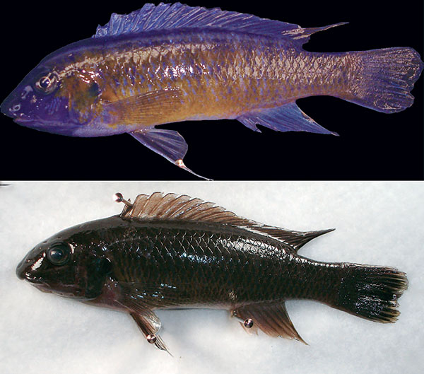 Labeotropheus simoneae, male above, female below. Image credit Pauers 2016.
