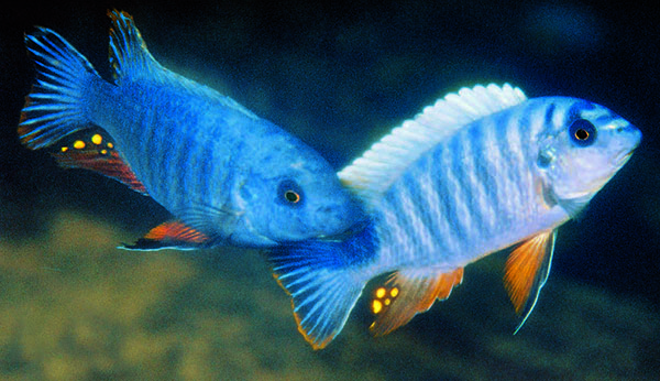 Sparring male <em>Labeotropheus artatorostris</em> at Thumbi West Island; these are the newest species of Labeotropheus. Image © Ad Konings/Cichlid Press