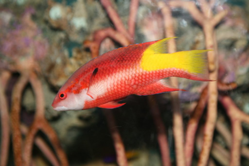 An example of an adult Cuban or Spotfin Hogfish, Bodianus pulchellus. Image by Flickr user Cliff; CC BY 2.0