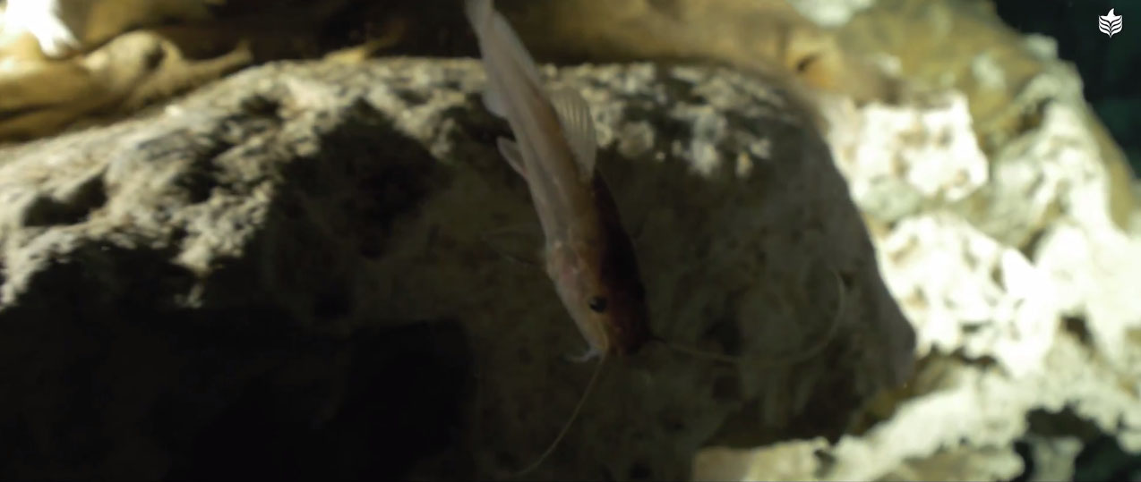 A chance encounter with a catfish while cave diving in the cenote, possibly a Rhamdia sp.