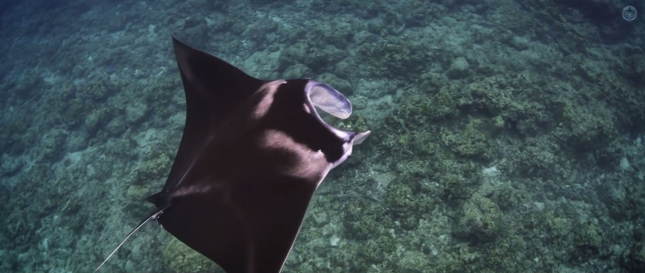 Manta Rays are a prominent feature of this latest film from Reef Patrol.