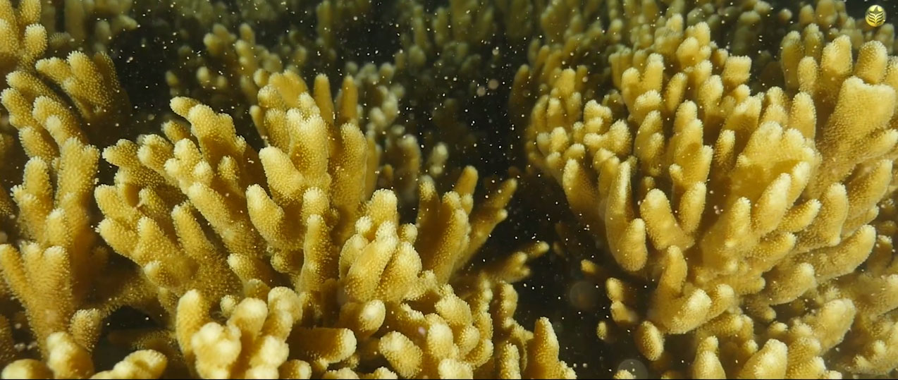 Coral spawning is the reason Reef Patrol and SECORE were on location.