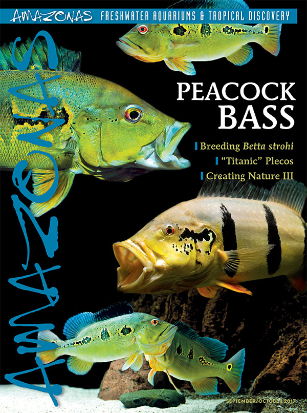 A tank-busting issue arriving now: cover of AMAZONAS Magazine, Volume 6, Number 5, PEACOCK BASS! On the cover: Peacock Basses, Cichla spp., by Enrico Richter.