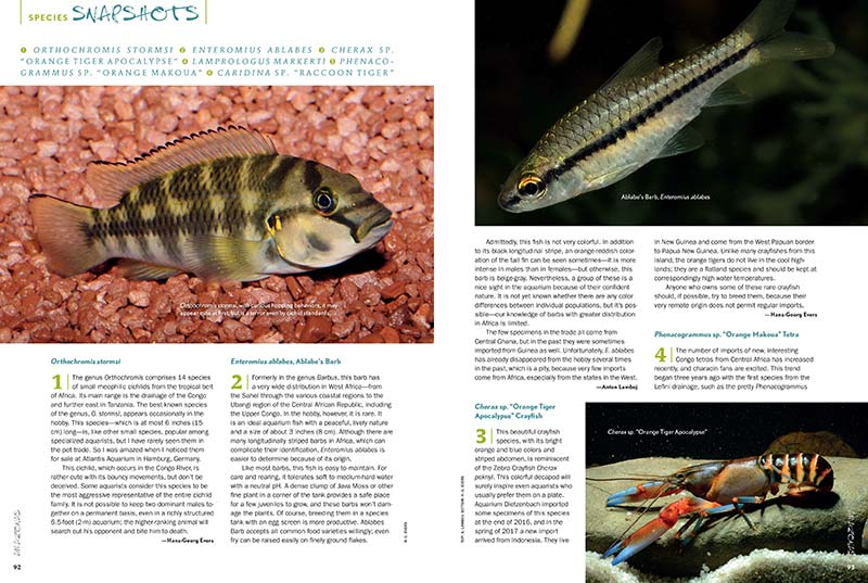 "AMAZONAS Magazine's Species Snapshots provide an insightful glimpse into what's new and hot in the aquarium trade. In this issue: Orthochromis stormsi, Enteromius ablabes (Ablabe's Barb), Cherax sp. ""Orange Tiger Apocalypse"", Lamprologus markerti, Phenacogrammus sp. ""Orange Makoua"", and Caridina sp. ""Raccoon Tiger""."
