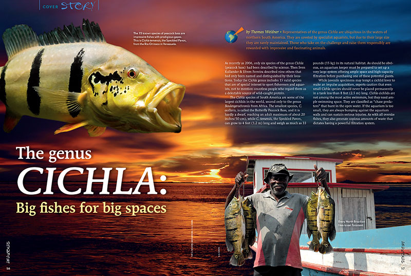 "The first of our feature stories, Thomas Weidner introduces ""The Genus Cichla: Big fishes for big spaces."""