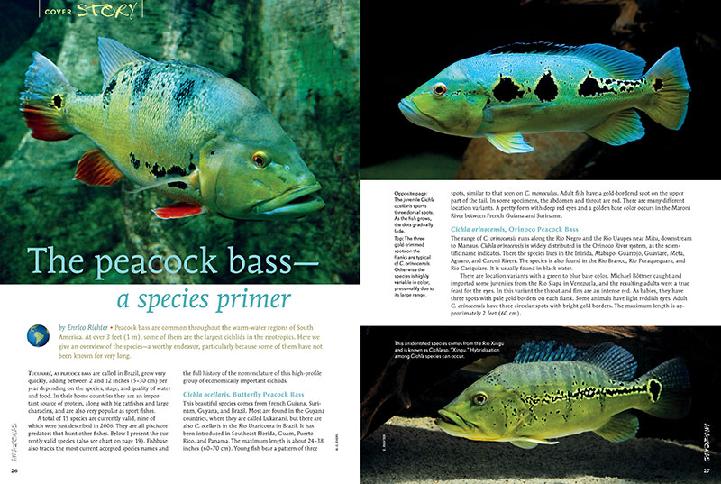 "Enrico Richter presents ""The Peacock Bass—a species primer,"" including many species only recently described, and some that can reach sizes of over 3 feet (1 m) in length."