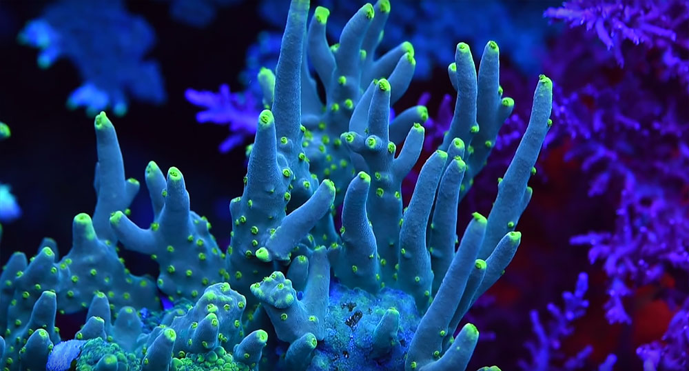 Still image capture of a stunning Acropora filmed in the 400 galllon reef aquairum of Jason Fox.