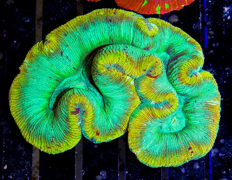 A beautiful two-toned green Trachyphyllia, from Eye Catching Corals.