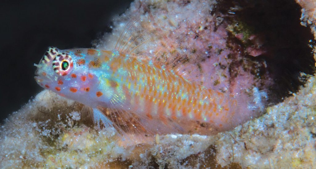 Small and colorful, several new freshwater and marine species of Gobies have recently been described. Shown here, Eviota pictifacies. Image credit: Mark V. Erdmann