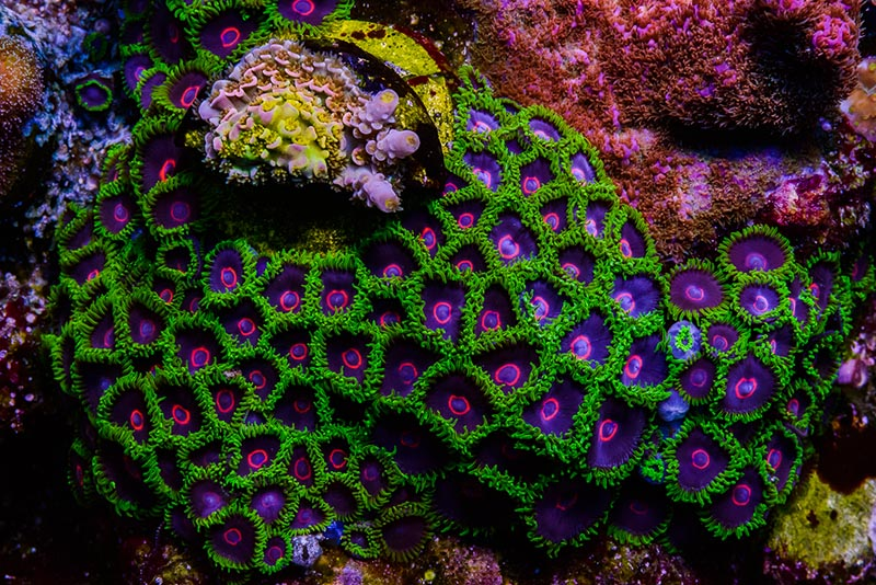 Purple Hearted Emerald Zoas, from Jason Fox Signature Corals