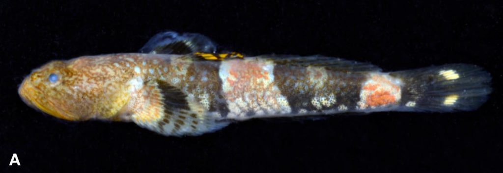 A male Schismatogobius risdawatiae, with a beautiful yellow dorsal fin and red markings on the flanks. Image credit: Nicolas Hubert