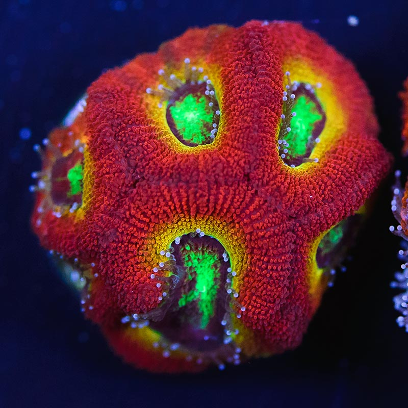 The Ruby Rainbow Micromussa from World Wide Corals