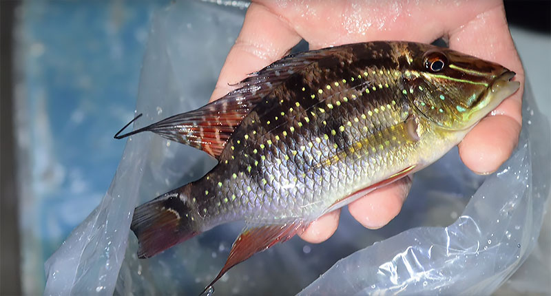 Can you ID this stunning cichlid species? Watch the video for the answer!