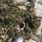A tangle of seagrass, gorgonians, sponges, and fish, on Miami Beach, 9/13/17