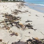 More images from Miami Beach in the aftermath of Hurricane Irma, with gorgonians and seagrasses littering the beaches.