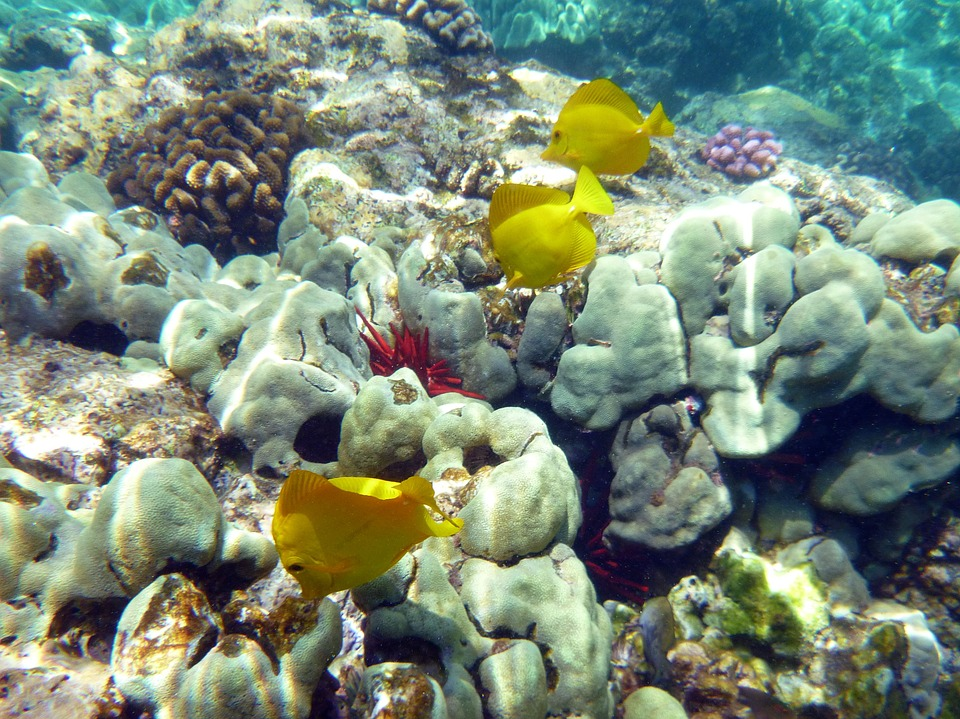 "The most iconic aquarium fish from Hawaiis' aquarium fishery, Yellow Tangs graze on a Hawaiian Coral Reef. For the moment, a Hawaii Supreme Court ruling means that not a single one will be harvested for the aquarium trade.<a href=""https://pxhere.com/th/photo/1135873"" target=""_blank"" rel=""noopener"">Photographer unknown</a>, <a href=""https://creativecommons.org/publicdomain/zero/1.0/"" target=""_blank"" rel=""noopener"">CC0 1.0</a>"