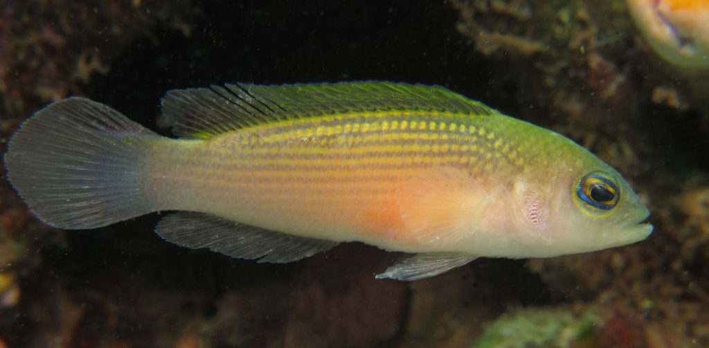 The live holotype of Pseudochromis stellatus, collected in the Dayan Channel, Batanta, Raja Ampat Islands, Indonesia. Photo credit: Mark V. Erdmann