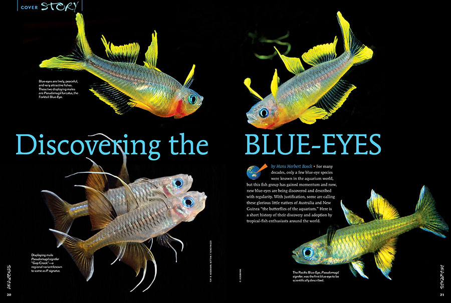 "For many decades, only a few blue-eye species were known in the aquarium world; now, new blue-eyes are being discovered and described with regularity. With justification, some are calling these glorious little natives of Australia and New Guinea ""the butterflies of the aquarium."" Learn more in our feature coverage, starting with ""Discovering the Blue-Eyes"" by Hans Herbert Boeck."