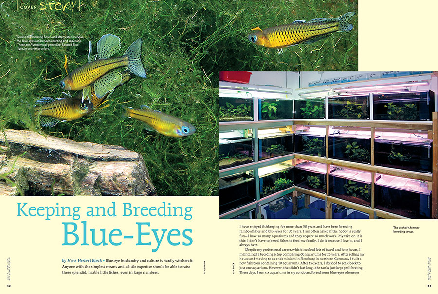 Blue-eye husbandry and culture is hardly witchcraft. Anyone with the simplest means and a little expertise should be able to raise these splendid, likable little fishes, even in large numbers. Hans Herbert Boeck tells all.