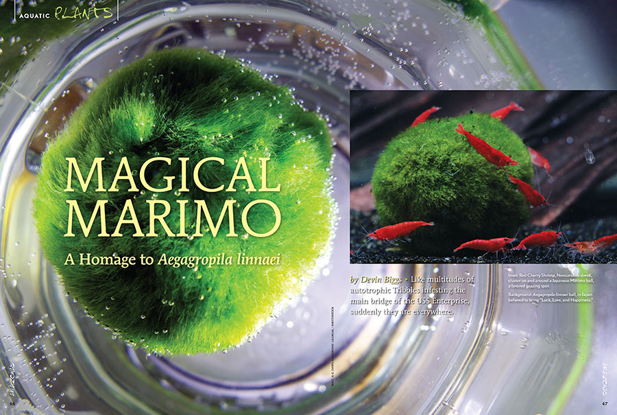 Marimo Balls: Like multitudes of autotrophic Tribbles infesting the main bridge of the USS Enterprise, suddenly they are everywhere. Learn more in the latest contribution from Devin Biggs.